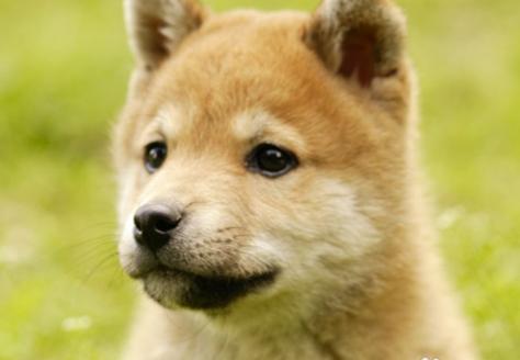 目前是日本柴犬在世界各地都很受欢迎,该犬种气质良好,不乱吠,亦能